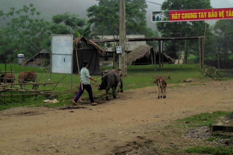 A Muong lady walking her cattle down a dirt road of a small village