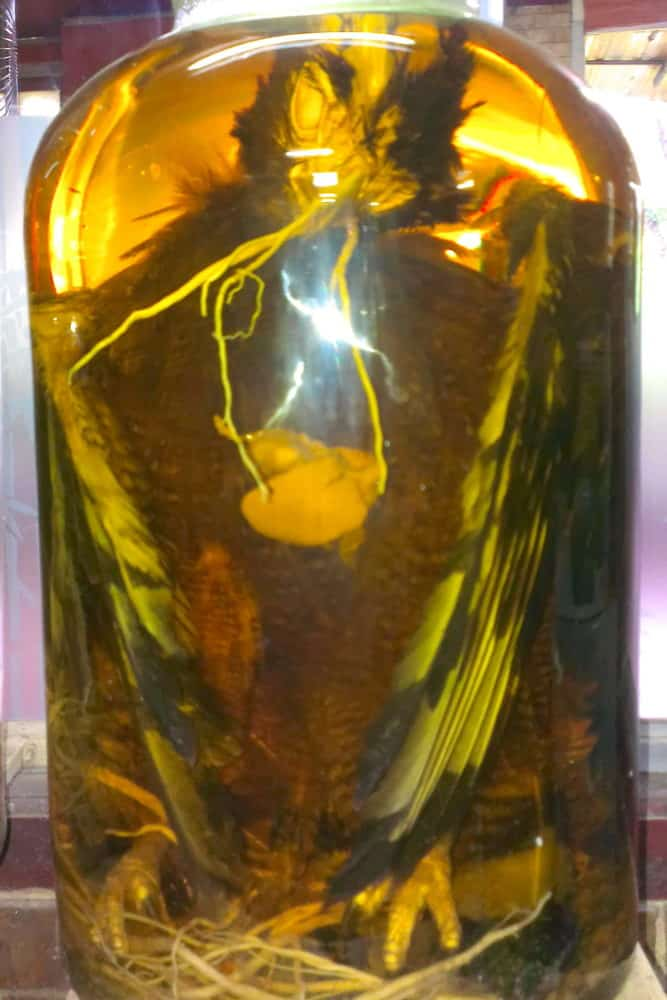 An eagle in a large glass jar of rice wine