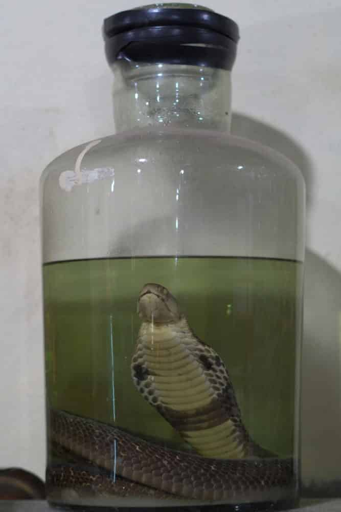 A cobra snake in a large glass jar of rice wine