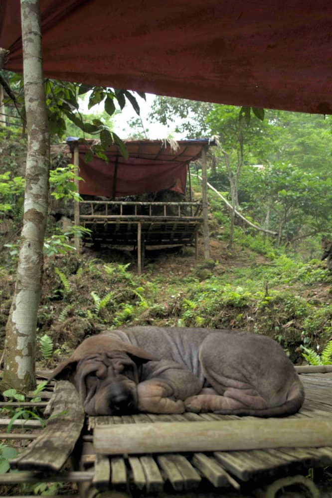 A shar Pei dog laying on a wooden deck in the jungle