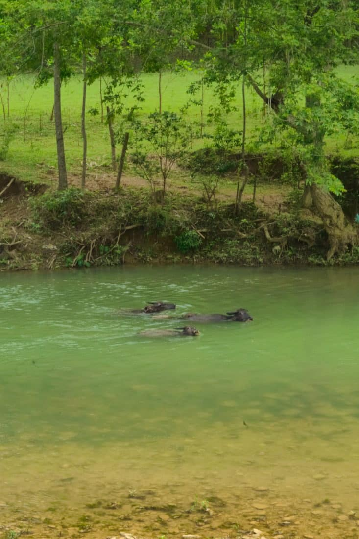 Buffalo swimming on a motorbike tour in vietnam
