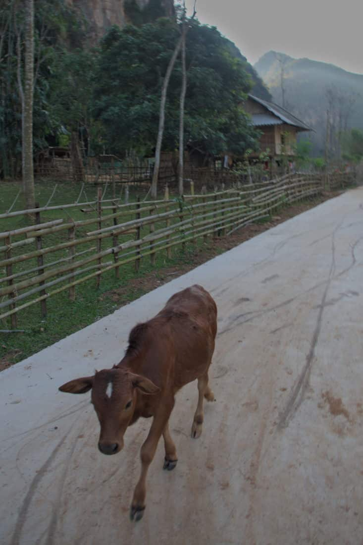 A cow calf on a cement road in Mai Hich, Mai Chau, Vietnam