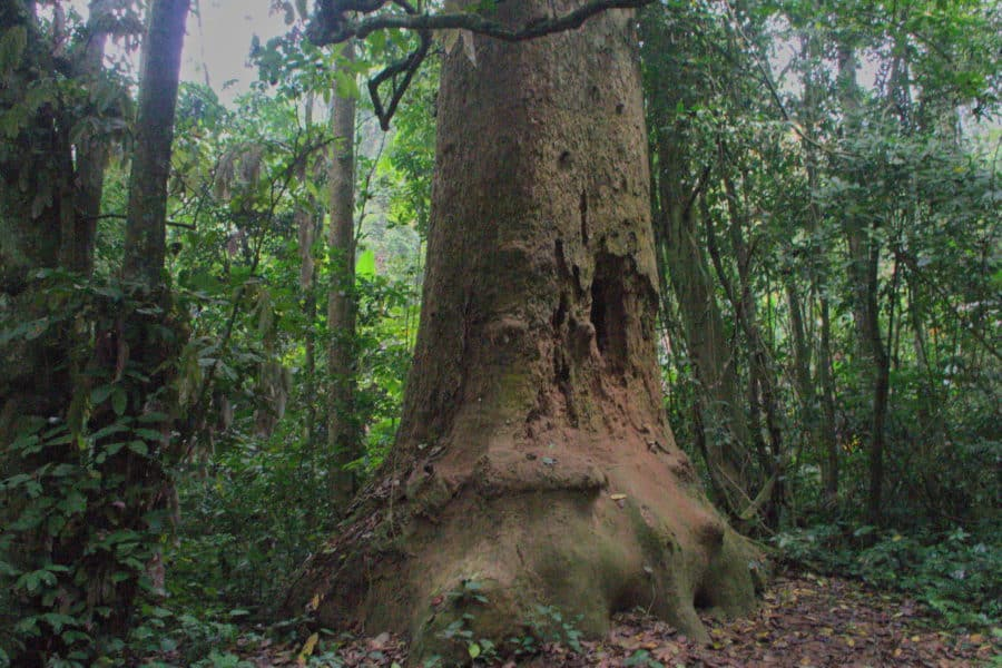 Ancient tree related to cinanmon in Cuc Phuong National Park, Vietnam
