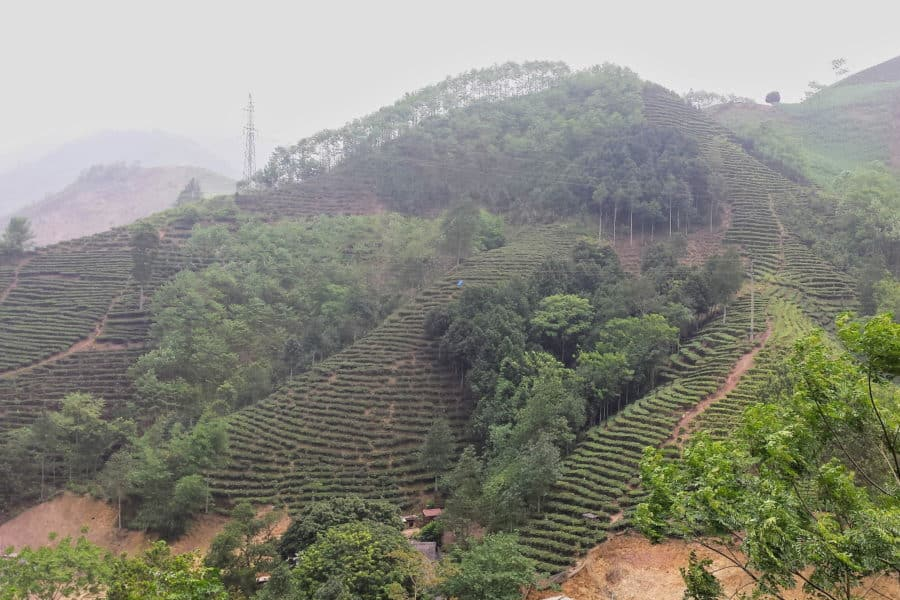 Tea plantation near Xuan Son