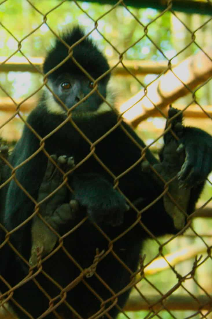 A Ha Tinh Langur at the Primate rescue center in Cuc Phuong National Park