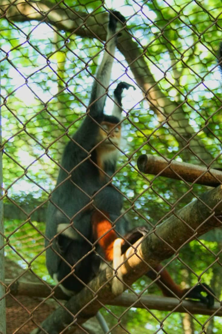 Grey Shanked Duoc Langur at the Primate rescue center in Cuc Phuong National Park