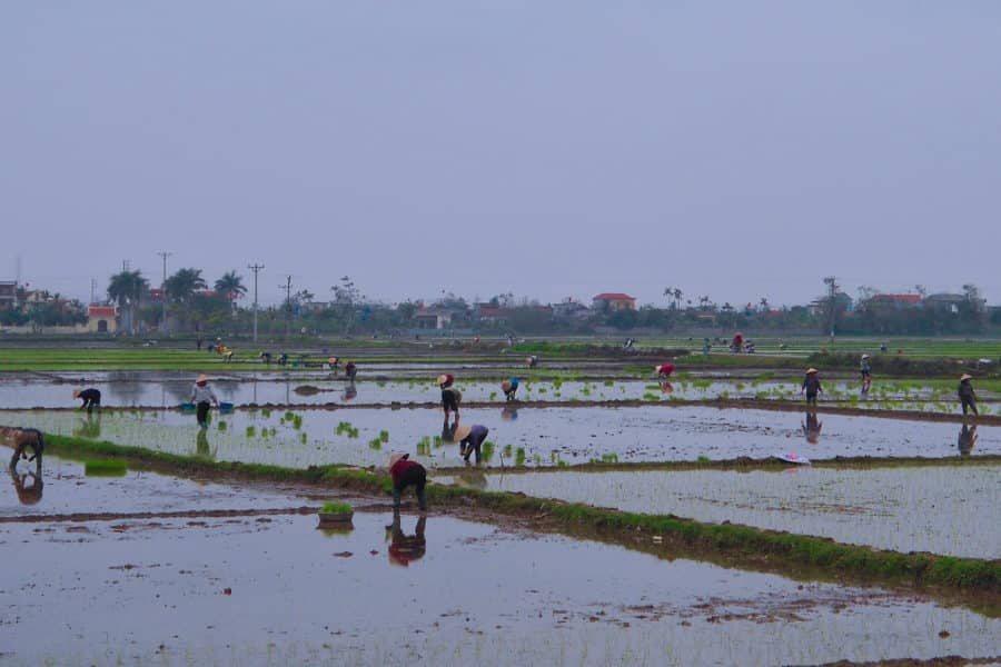 Workers planting rice near Haiphong as we passed by on a motorbike tour