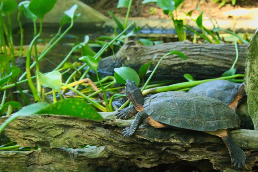 Turtle at the turtle conservation centre in Cuc Phuong National Park