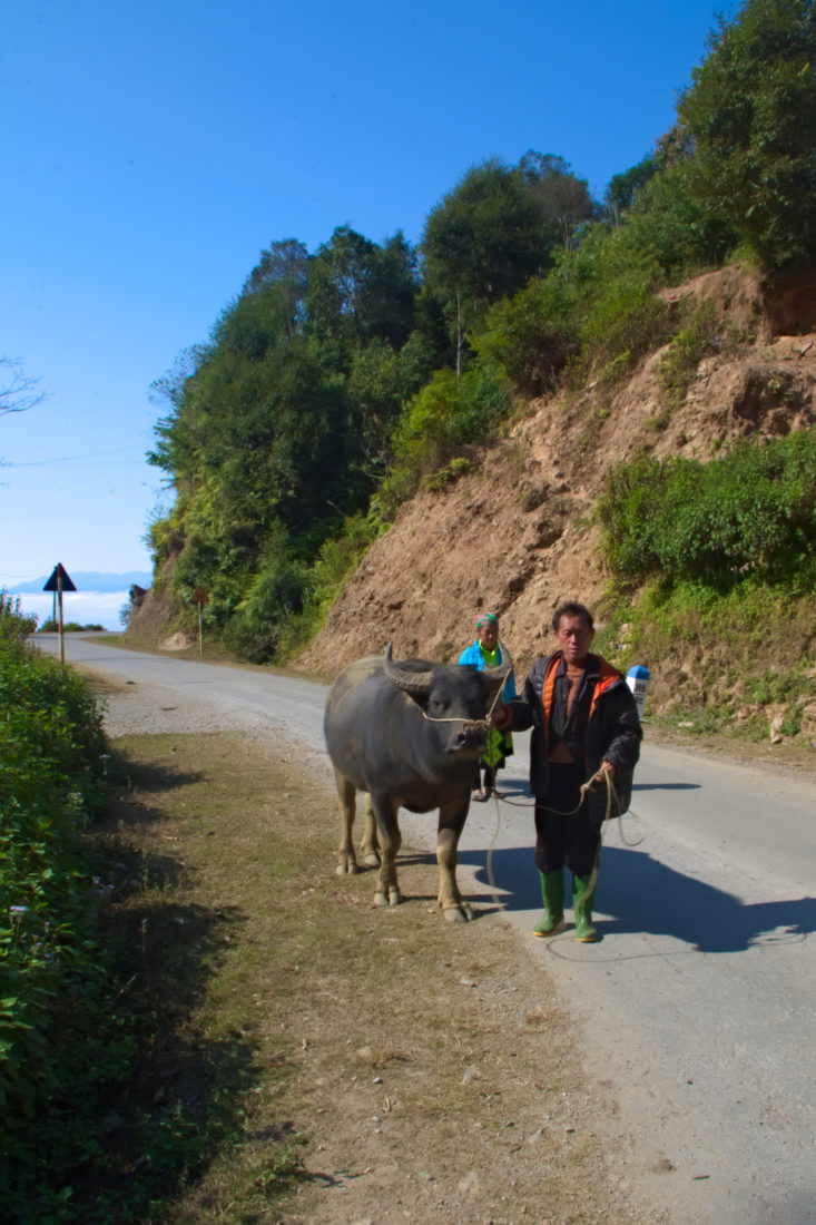 A man walking his buffalo in the mountains of Son La, Vietnam