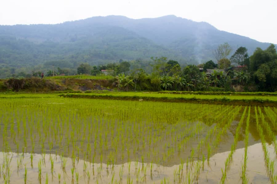 A rice paddy that is fed by a water wheel in Vietnam