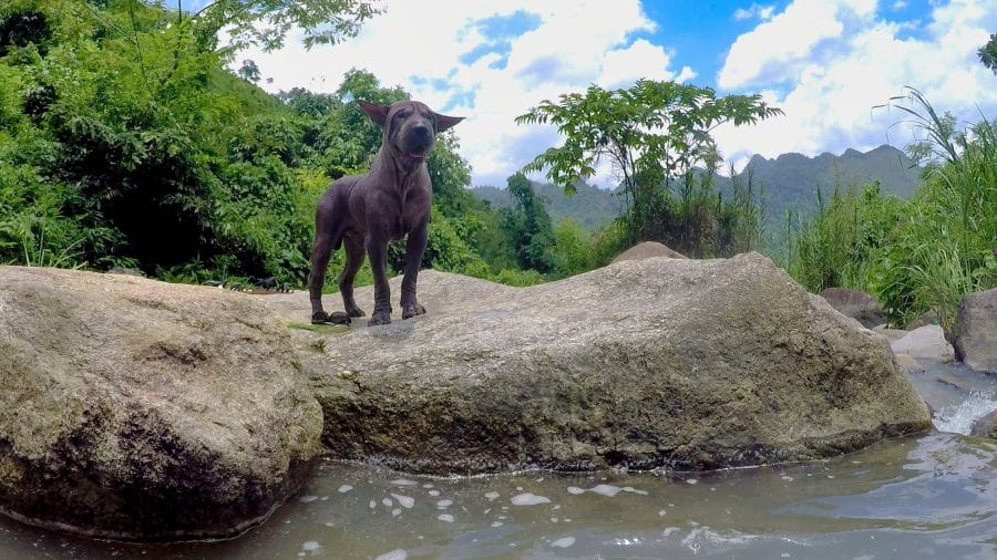 A shar Pei dog standing on a rock next to water in a jungle in Vietnam