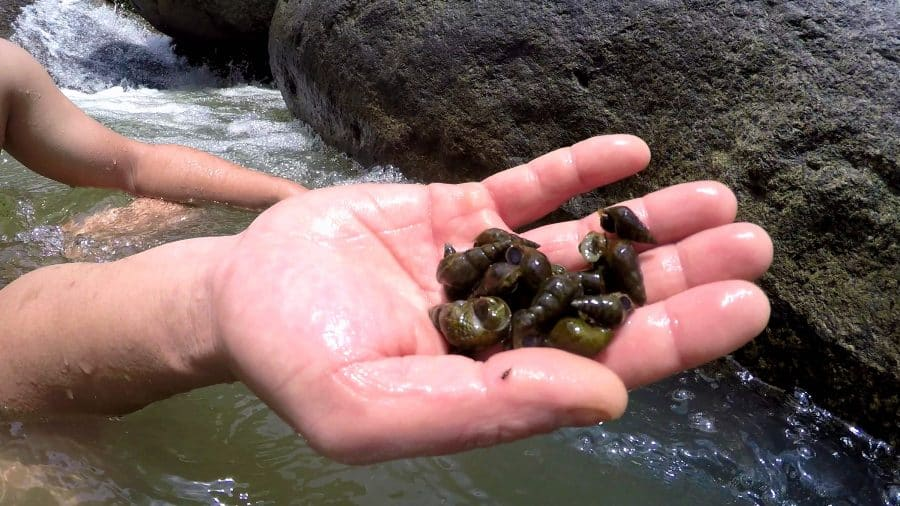 A hand holding freshwater snails at a waterfall